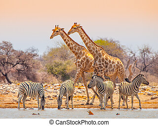 Giraffes and zebras at waterhole - Two giraffes and four...