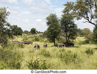 giraffes and zebras in krugerpark