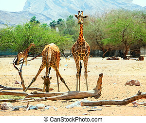 Giraffes are eating and drinking