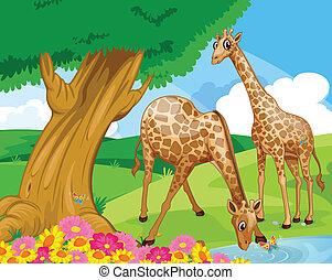 Giraffes at the riverbank - Illustration of the giraffes at...