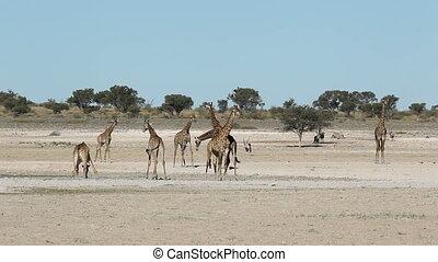 Giraffes at waterhole - Giraffes and gemsbok antelopes...
