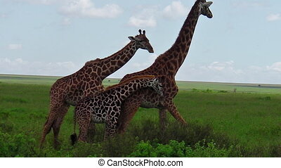 giraffes couple with baby