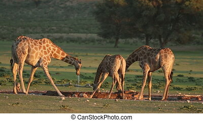 Giraffes drinking water - Giraffes (Giraffa camelopardalis)...