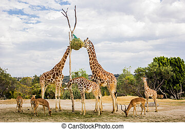 Giraffes eating at a zoo
