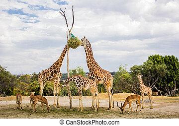 Giraffes eating at a zoo