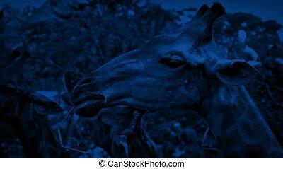 Giraffes Eating At Night