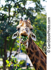 Giraffes eating leaves