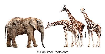 giraffes, elefant