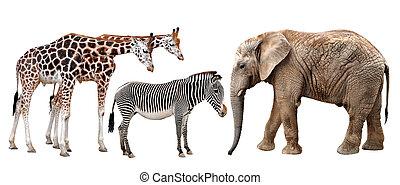 giraffes, elephant and zebras