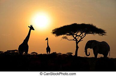 giraffes, en, elefant, met, acacia tree, met, ondergaande zon