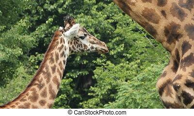 Giraffes at the Toronto Zoo, Ontario, Canada.