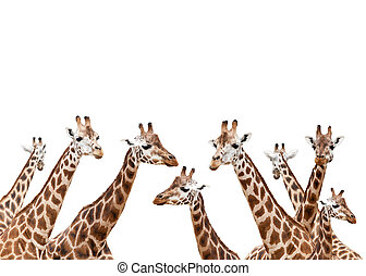 Group of giraffes isolated on white background