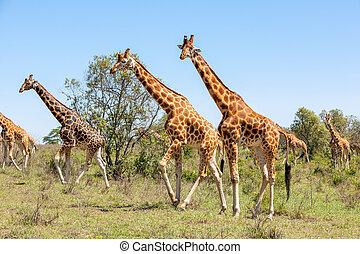 Giraffes herd in savannah - Wild giraffes herd in savannah,...