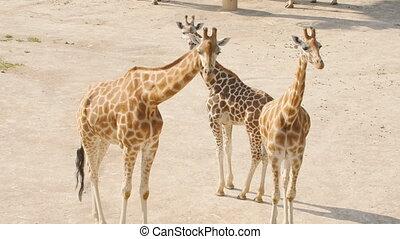 Giraffes herd in the park