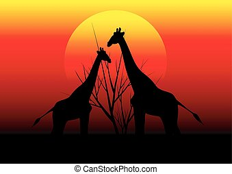 giraffes in Africa and sunset