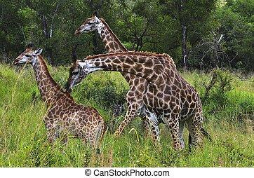 Giraffes in Hluhluwe-Umfolozi Game Reserve, South Africa