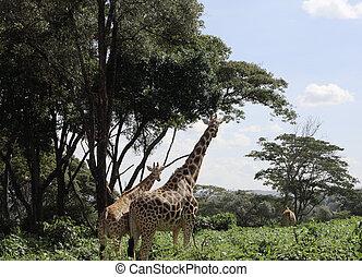 Giraffes in Nairobi reserve Kenya Africa