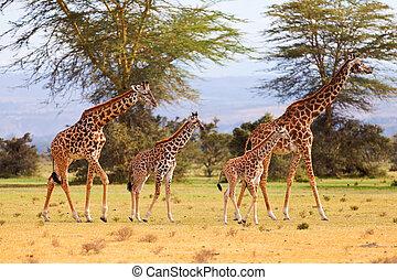 Giraffes in Naivasha park
