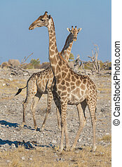 Giraffes in Namib
