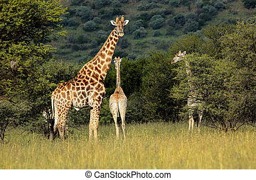 Giraffes (Giraffa camelopardalis) in natural habitat, South Africa