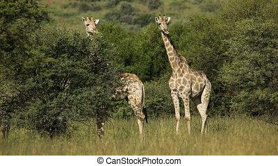 Giraffes in natural habitat - Two giraffes (Giraffa...