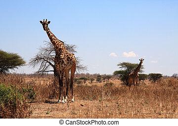 giraffes in savanna - two giraffes in front of bushes in...