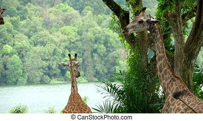 Giraffes in savannah - Giraffes against of some green trees,...