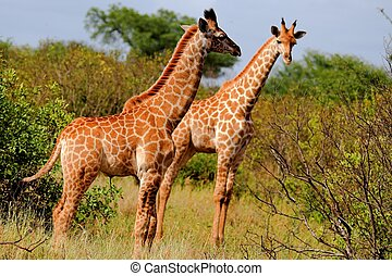 Giraffes in the African bush