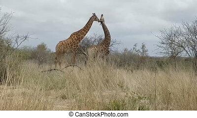 giraffes in the African savanna