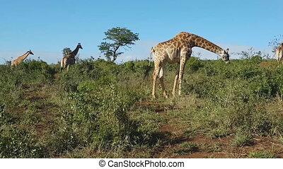 giraffes in the African savanna (Uganda)