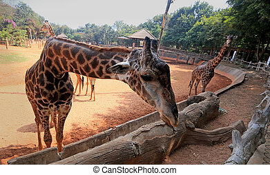 Giraffes in the zoo