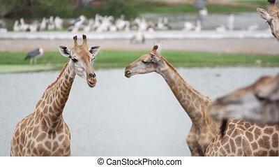 giraffes in the zoo safari park. Changes focus on pelicans. HD. 1920x1080