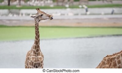giraffes in the zoo safari park. HD. 1920x1080