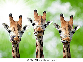Giraffes on green background