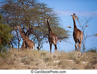 Giraffes on savanna. Safari in Amboseli, Kenya, Africa