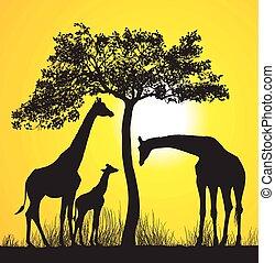 Giraffes on the African savannah