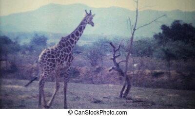 Giraffes Roaming Game Park-1979 - Giraffes and other wild...