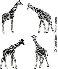 giraffes sketch illustration set