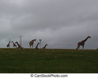 Giraffes in the distance.