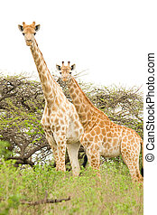 giraffes - two giraffes standing together at reserve