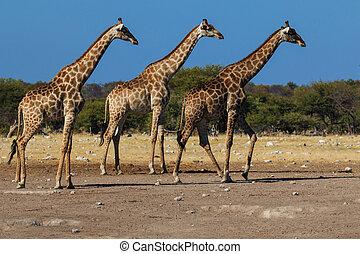 Giraffes, three in a row - Three giraffes walking in sync.