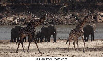 Giraffes walking in super slow motion near river