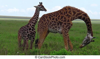 giraffes with baby - African giraffe family with their baby...
