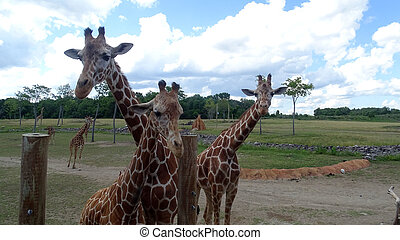 Giraffes with blue sky backgroud.