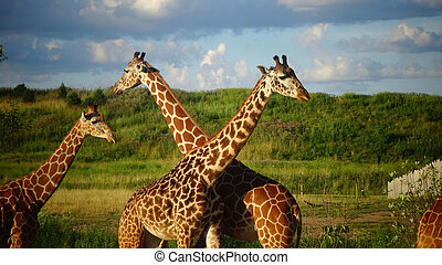 Giraffes with blue sky background.