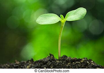 girasol, brote, en, vívido, verde, bokeh, background.(horizontal)