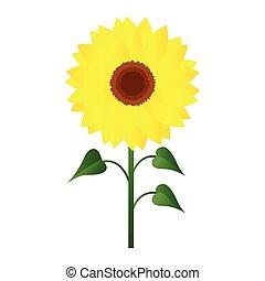 girasol, ilustración, fondo., vector, verde, leafs, blanco