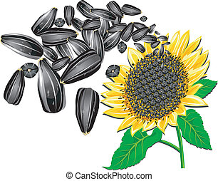 girasol, y, semillas