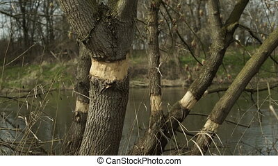 Girdling To Kill Tree With River Background - Trees with a...