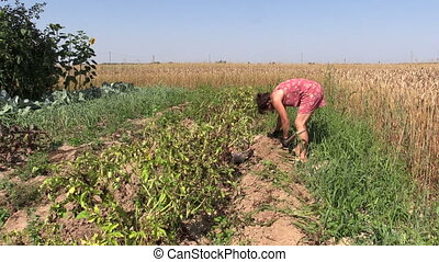 girl dig potato harvest - villager girl dig potato harvest...